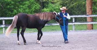 George Schaefer works with a Rocky Mountain Horse.